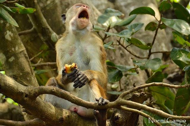 mono ladron en Sri Lanka