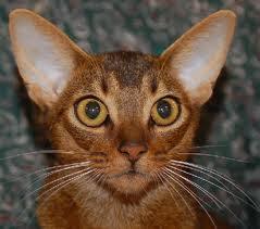 Abyssinian Kittens