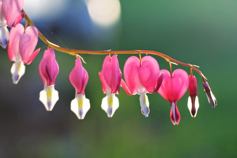 pink bleeding hearts at the Little Farm