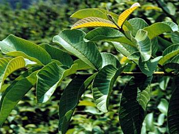 how to use guava leaves as herbal medicine