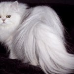 9 Tips on How to Comb Fur Persian Cats - Maintain Persian Cats