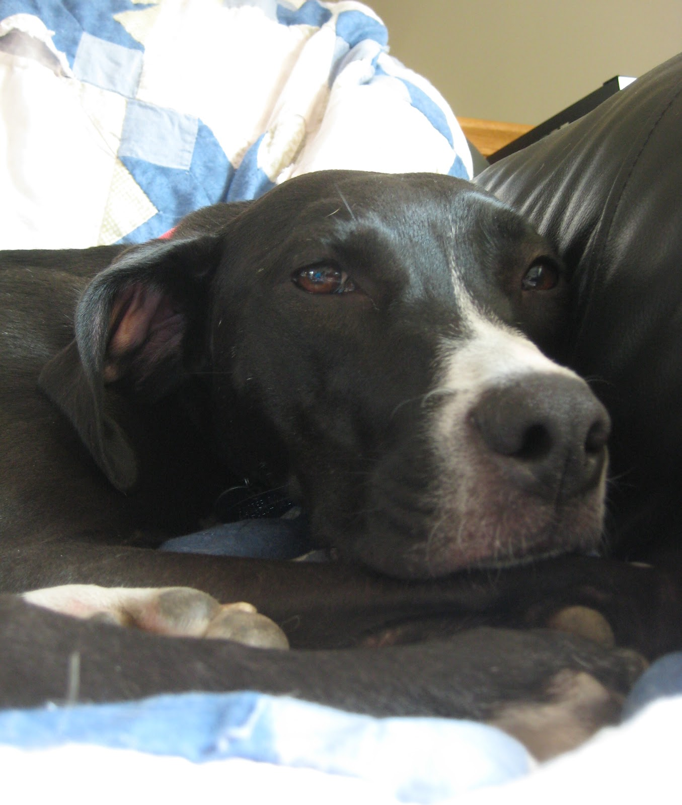 Chloe - German Shorthair Pointer + Lab Mix / Adoptable Dogs | Wags ...