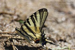 grand papillon magnifique rare flambé