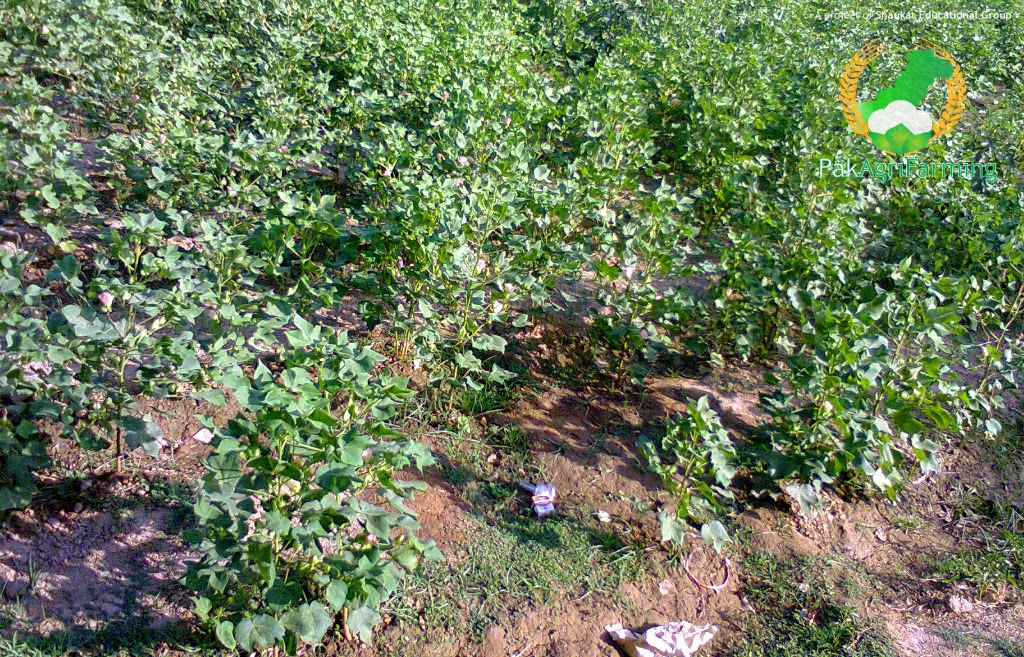 Cotton field infested with cynodon dactylon and other weeds