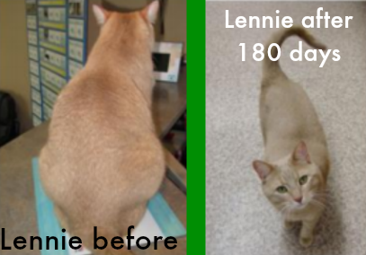 Lennie the cat after eating Hill's Metabolic #HillsPet