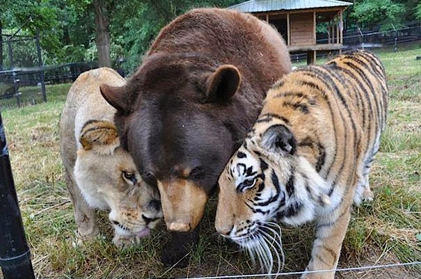 Shere Khan the Tiger, Leo the Lion and Baloo the Bear