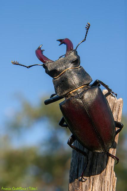 Ciervo volante macho (Lucanus cervus)