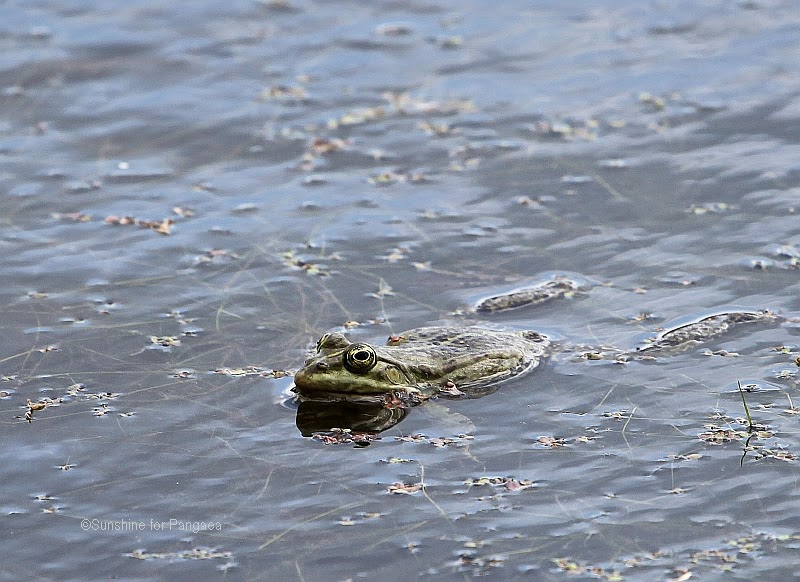 edible frog in a lake