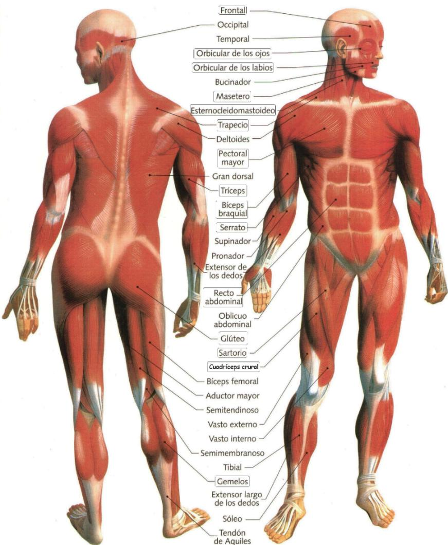 conociendo lo fascinante que es el cuerpo humano\