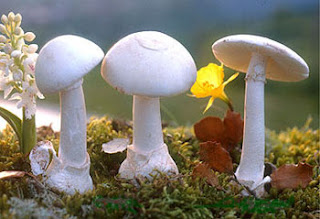 Amanita verna - Oronja blanca