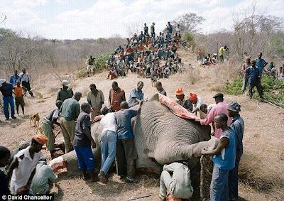 Makan daging gajah mentah