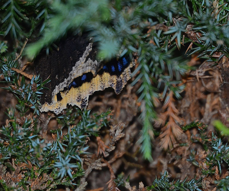 Mourning Cloak butterfly tucks into a cedar for the night.
