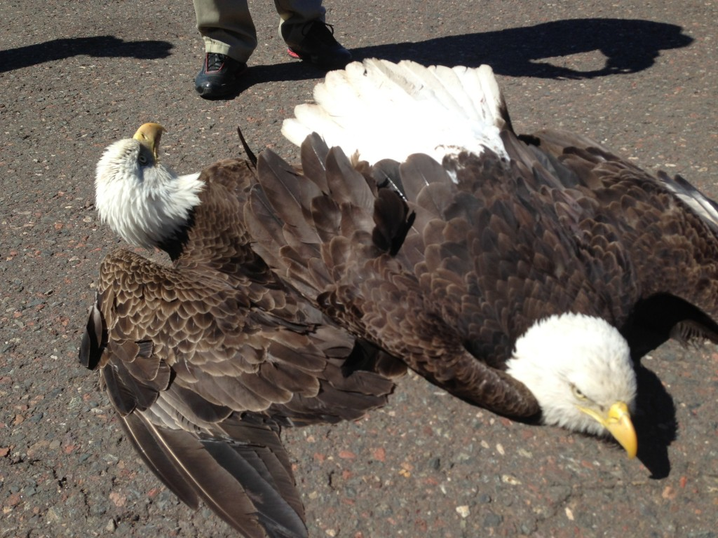 The symbol of the united states of america is the bald eagle and