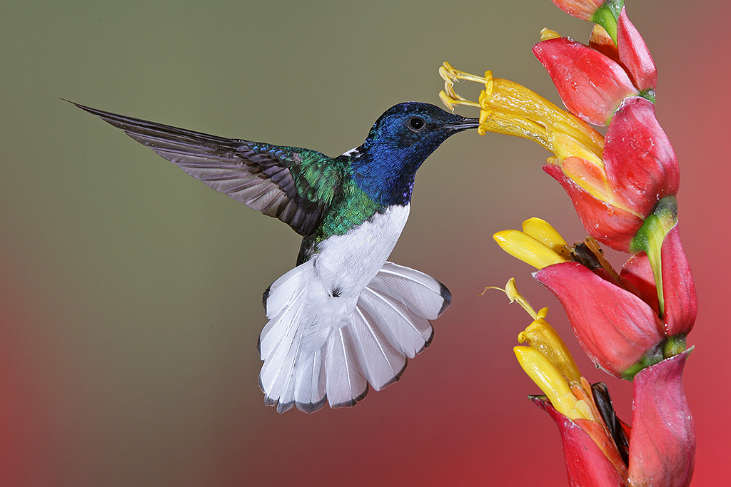top flight nature photography  hummingbirds  and frogs  of costa rica