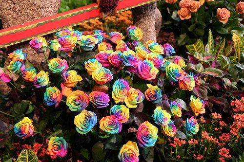 18 'قوس قزح' من أجمل الزهور التي قد تراها   حقن الزهور بصبغات مختلفة