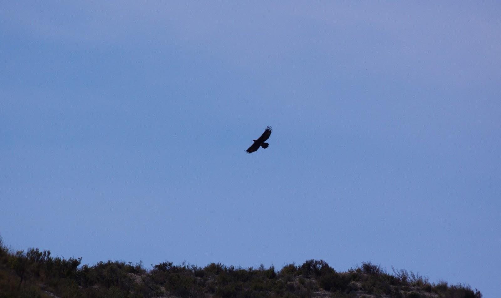 Golden Eagle - Spain