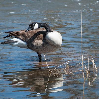 Canada Goose in South Platte Park