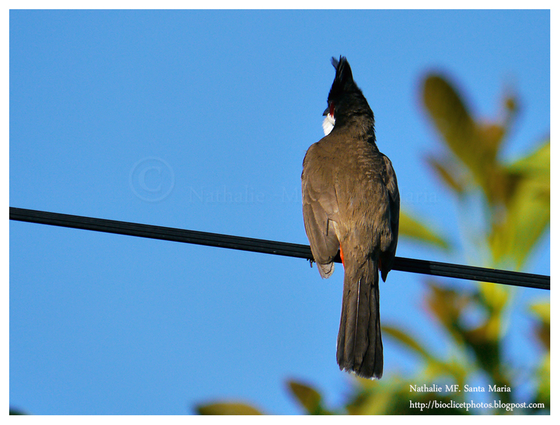 Le bulbul orph e pycnonotus jocosus for Oiseau longue queue ventre jaune