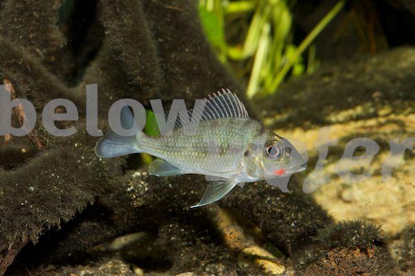 Rare Fish Blog Rare African Cichlids