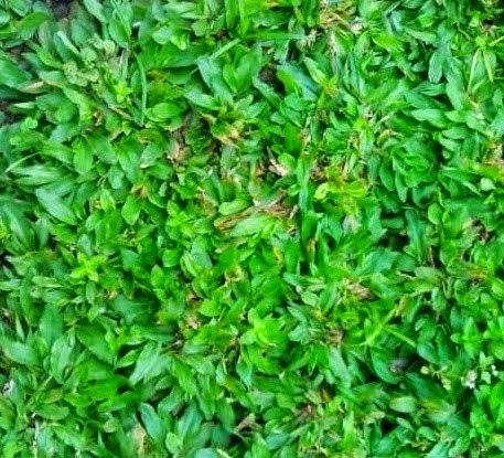 Tukang rumput gajah mini | Taman minimalis | Taman bali | Taman bali | Renovasi taman | Suplier tanaman hias | Jasa potong rumput