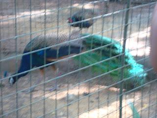 eating peacock in Zoobic Safari