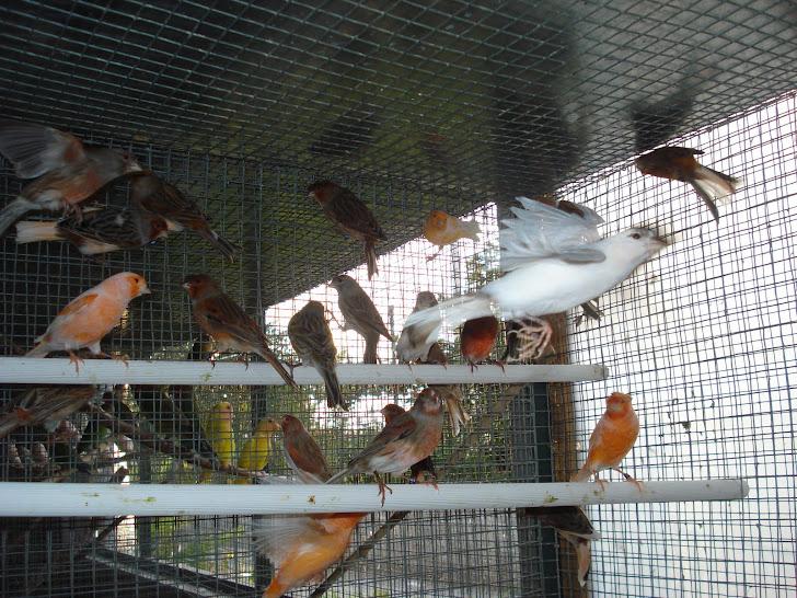Canários arlequim 2011