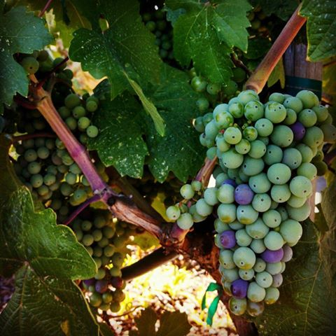 photo of ripening green wine grapes on the vine