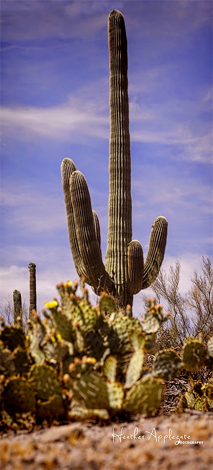 http://heather-applegate.artistwebsites.com/featured/saguaro-heather-applegate.html