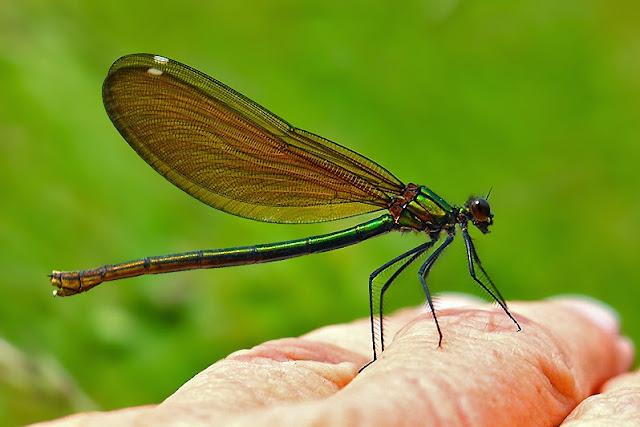 Tierfotos - Libellen - Blauflügel-Prachtlibelle - Weibchen