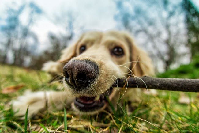Wnętrostwo u psów
