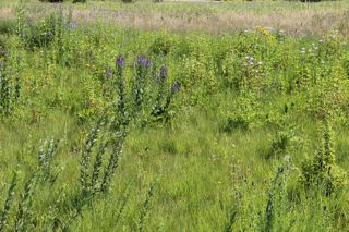 photo of prairie wildflowers