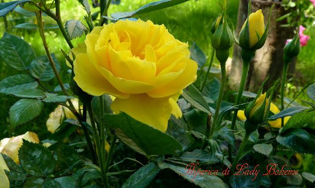 hiperica_lady_boheme_blog_di_cucina_ricette_gustose_facili_veloci_rosa_gialla