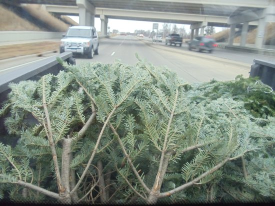 Driving Christmas Trees Home