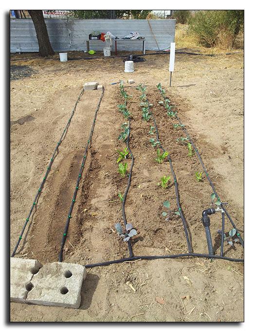 Mi huerto de alquiler - Cultivar judias verdes ...