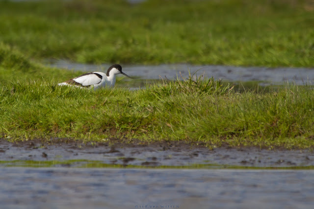 Kluut - Pied Avocet - Recurvirostra avosetta