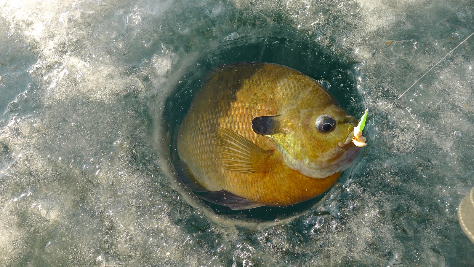The fishing news great ice fishing action for Ice fishing for catfish