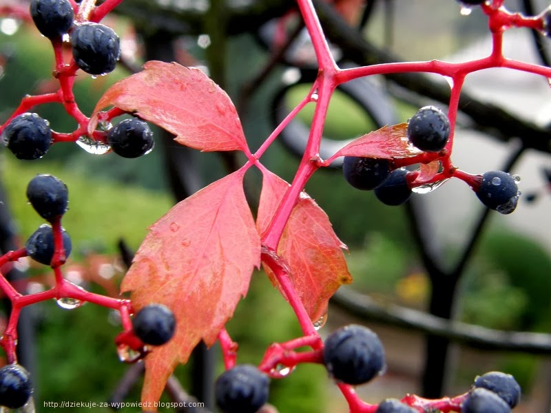 jesień, zdjęcia, woda, krople, deszcz, rain, drops, makro