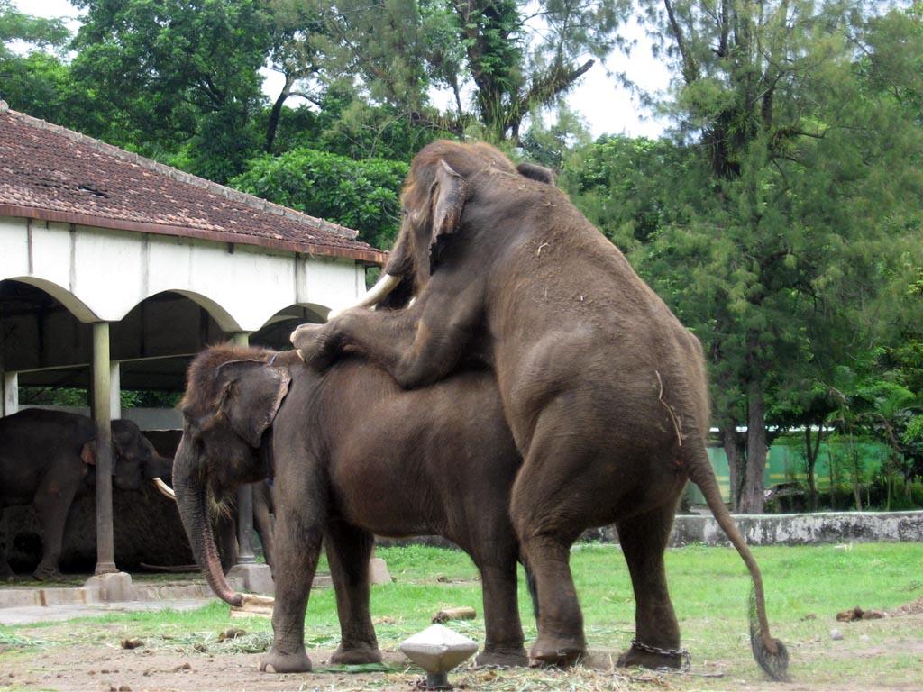 foto hewan - gambar gajah kawin