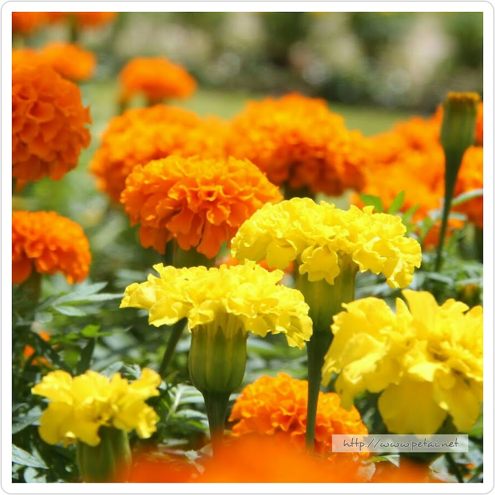 Bunga Tahi Ayam Kuning dan Jingga