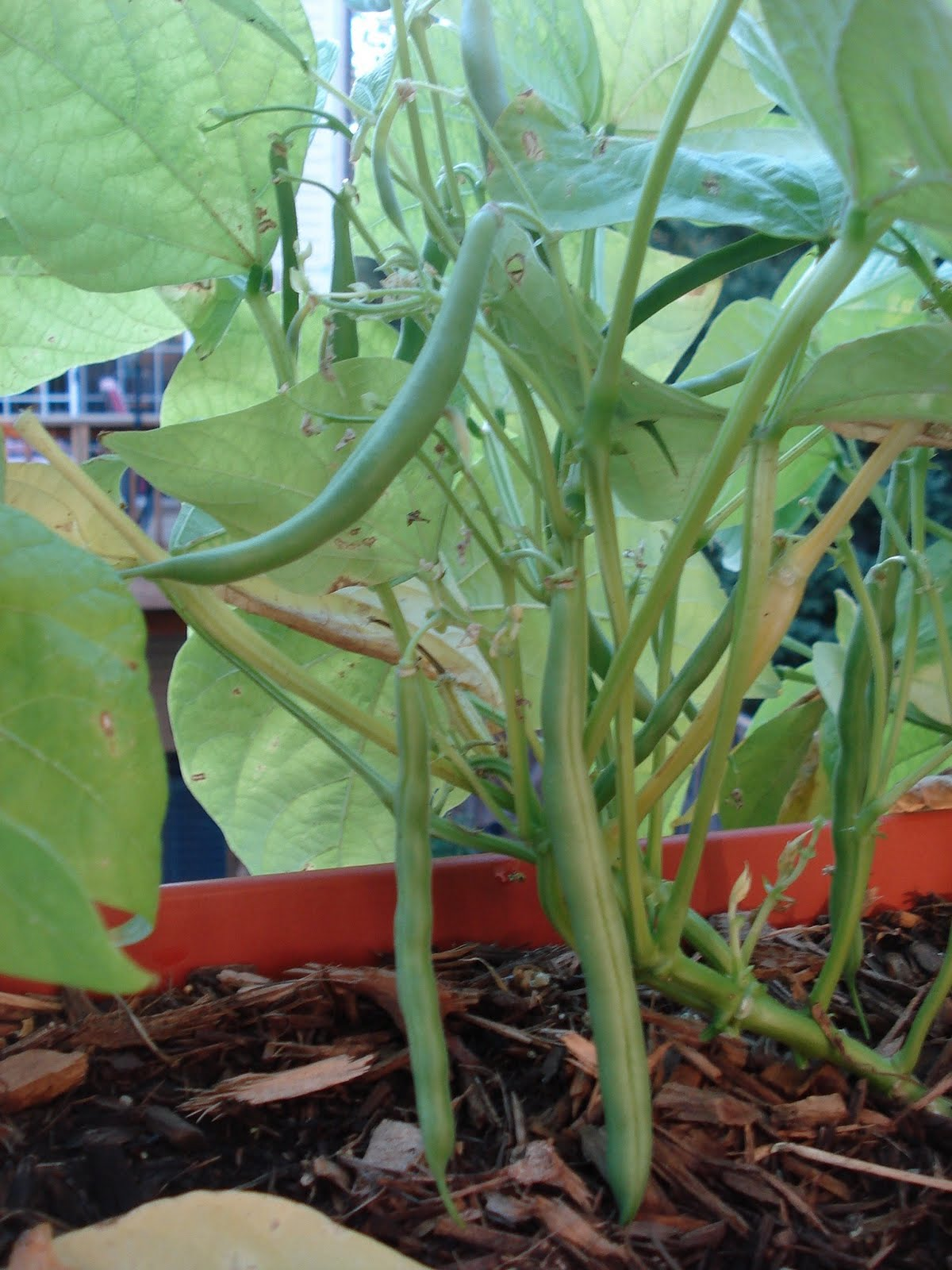Growing bush beans in containers - We Planted Bush Beans In A Container And The Five Seedlings Have Just Matured Into Producing Plants We Harvested About A Pint And A Half Late Last Week