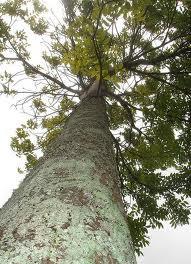 detail ilmiah pohon mahoni