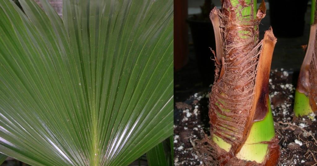 Viveros Vangarden: Palma de abanico china