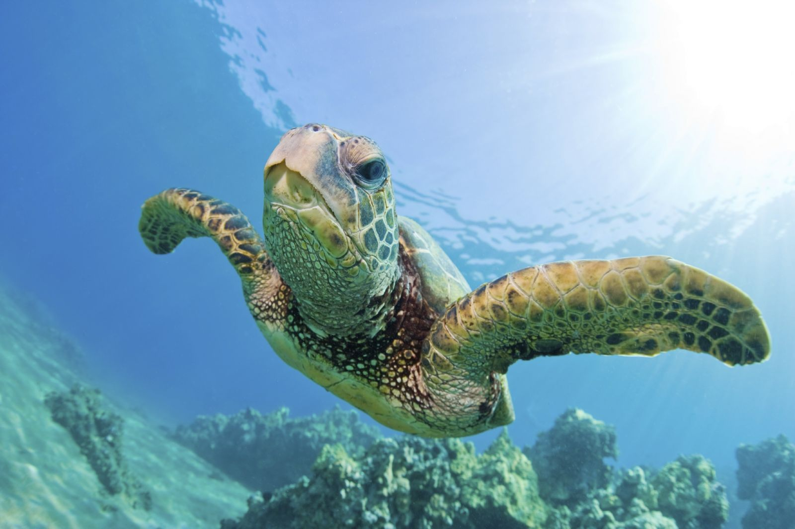 green sea turtles are herbivorous species of sea turtles meaning they