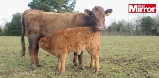 A vaca imaculada e o seu vitelo