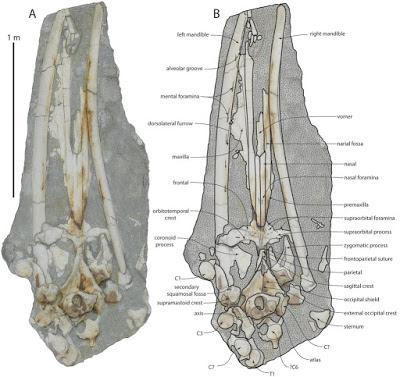 Tokarahia skull