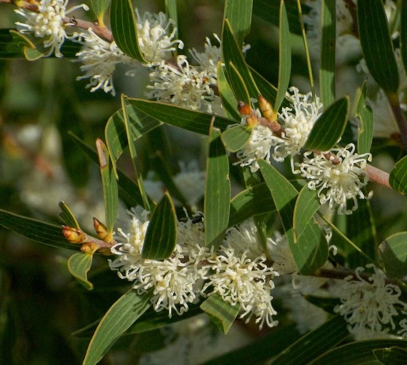 Sweet-scented Hakea (Hakea cf ambigua)