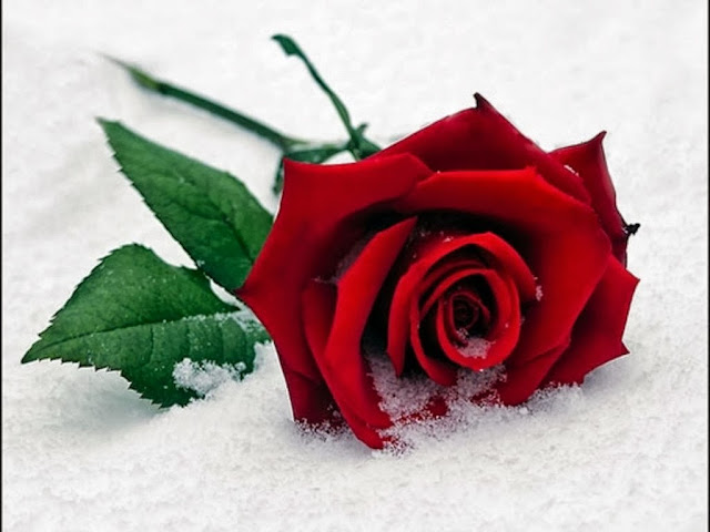 Red Rose Wallpapers Free Download