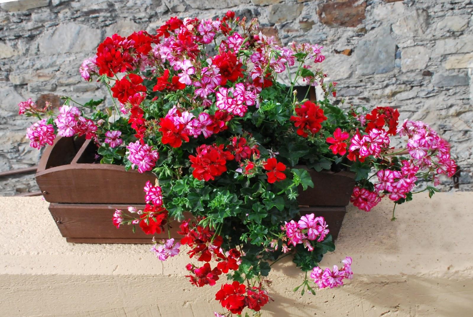 Fotos de flores flores de geranios de varios colores - Fotos de rosas de colores ...
