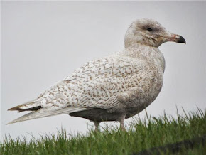 Glaucous Gull - Photo File.