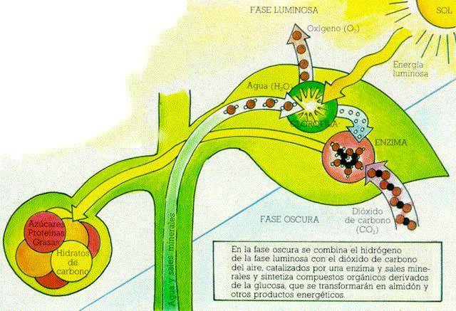 fijacion carbono fotosintesis pdf: